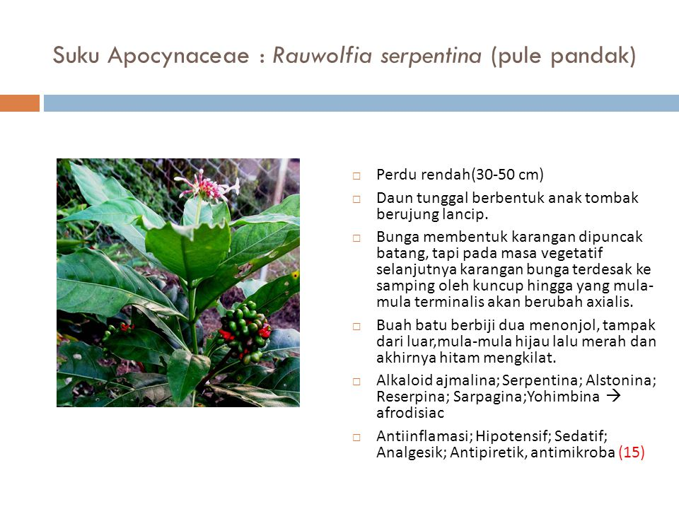 Suku Apocynaceae : Rauwolfia serpentina (pule pandak)  Perdu rendah(30-50 cm)  Daun tunggal berbentuk anak tombak berujung lancip.  Bunga membentuk