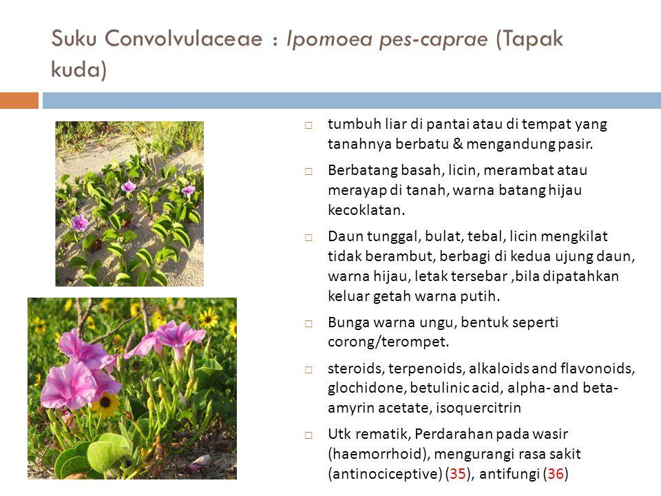 Suku Convolvulaceae : Ipomoea pes-caprae (Tapak kuda)  tumbuh liar di pantai atau di tempat yang tanahnya berbatu & mengandung pasir.  Berbatang bas