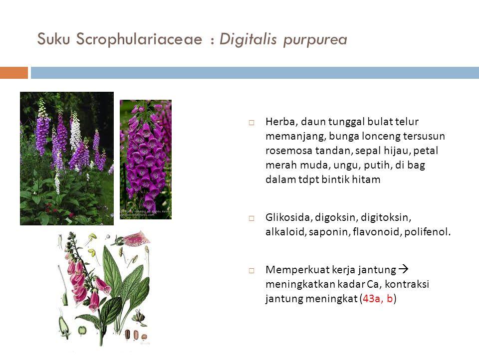 Suku Scrophulariaceae : Digitalis purpurea  Herba, daun tunggal bulat telur memanjang, bunga lonceng tersusun rosemosa tandan, sepal hijau, petal mer