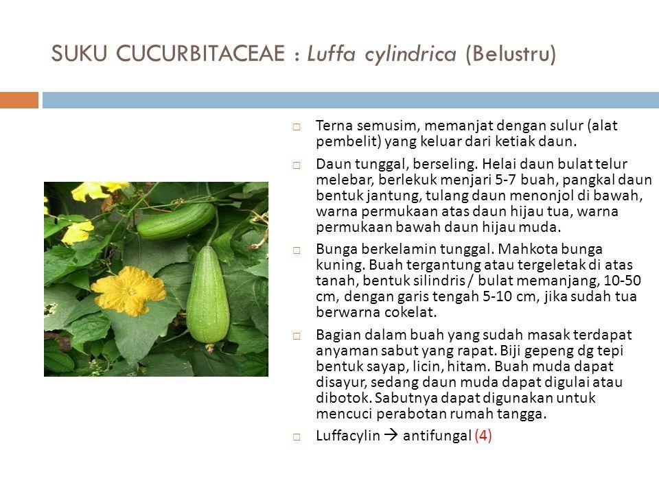 SUKU CUCURBITACEAE : Luffa cylindrica (Belustru)  Terna semusim, memanjat dengan sulur (alat pembelit) yang keluar dari ketiak daun.  Daun tunggal,