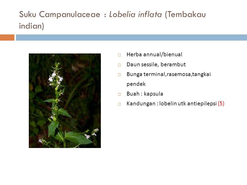Suku Campanulaceae : Lobelia inflata (Tembakau indian)  Herba annual/bienual  Daun sessile, berambut  Bunga terminal,rasemosa,tangkai pendek  Buah