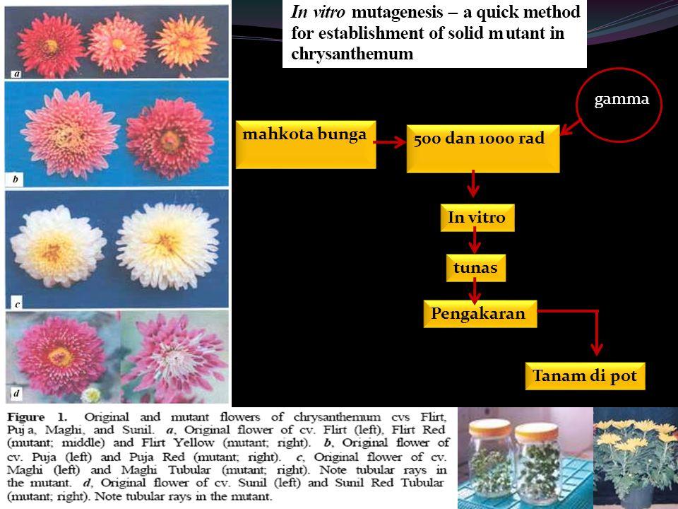 mahkota bunga 500 dan 1000 rad gamma In vitro tunas Pengakaran Tanam di pot