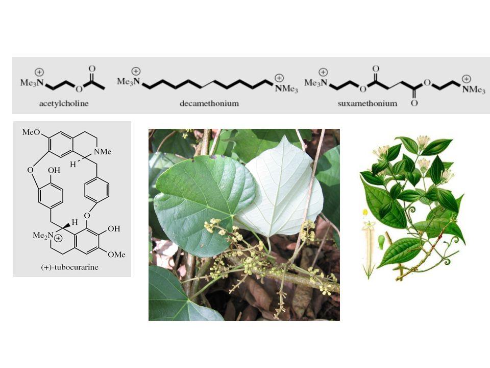 Chondrodendron tomentosum Alkaloid Benziltetrahidroisokuinolin