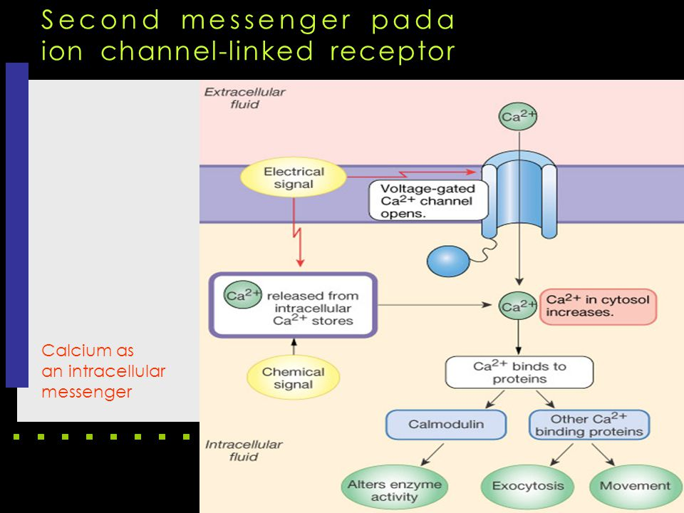 Calcium as an intracellular messenger Second messenger pada ion channel-linked receptor