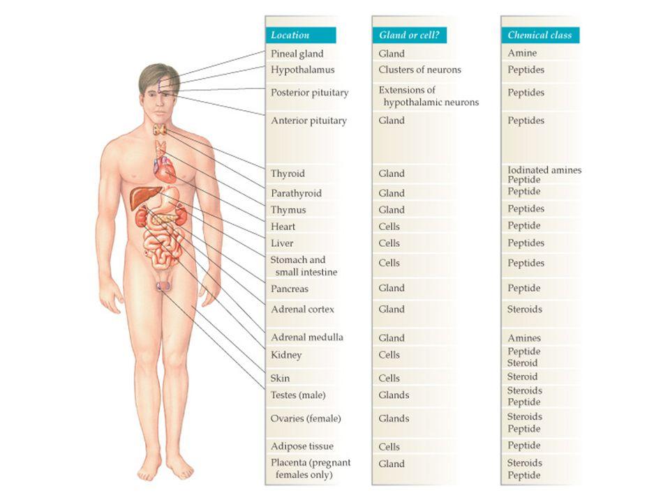 Hipofisa Posterior 1. ADH = Vasopresin 2. Oksitosin