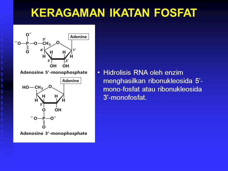 KERAGAMAN IKATAN FOSFAT Hidrolisis RNA oleh enzim menghasilkan ribonukleosida 5'- mono-fosfat atau ribonukleosida 3'-monofosfat.