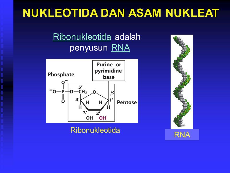 NUKLEOTIDA DAN ASAM NUKLEAT Ribonukleotida adalah penyusun RNA Ribonukleotida RNA
