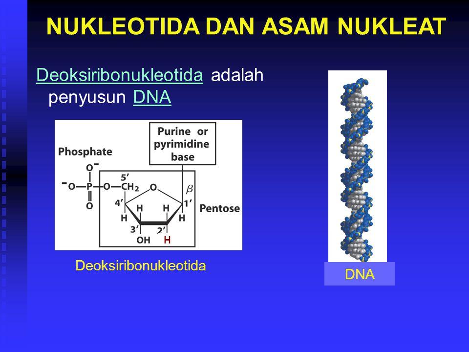 NUKLEOTIDA DAN ASAM NUKLEAT Deoksiribonukleotida adalah penyusun DNA DNA Deoksiribonukleotida H