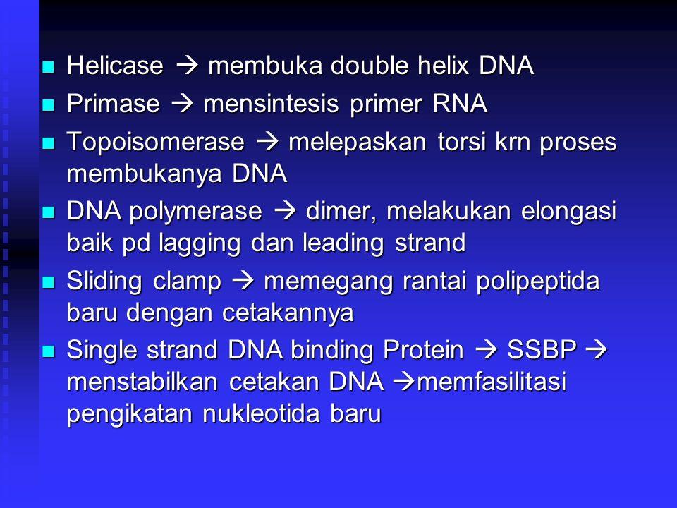 Helicase  membuka double helix DNA Helicase  membuka double helix DNA Primase  mensintesis primer RNA Primase  mensintesis primer RNA Topoisomeras