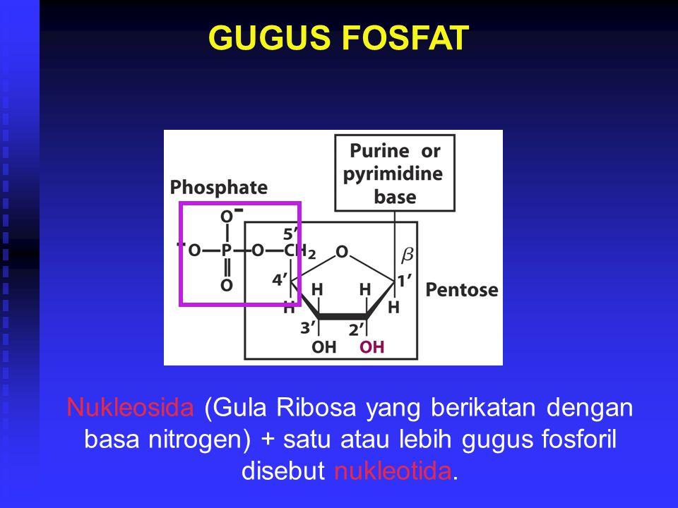 GUGUS FOSFAT Nukleosida (Gula Ribosa yang berikatan dengan basa nitrogen) + satu atau lebih gugus fosforil disebut nukleotida.