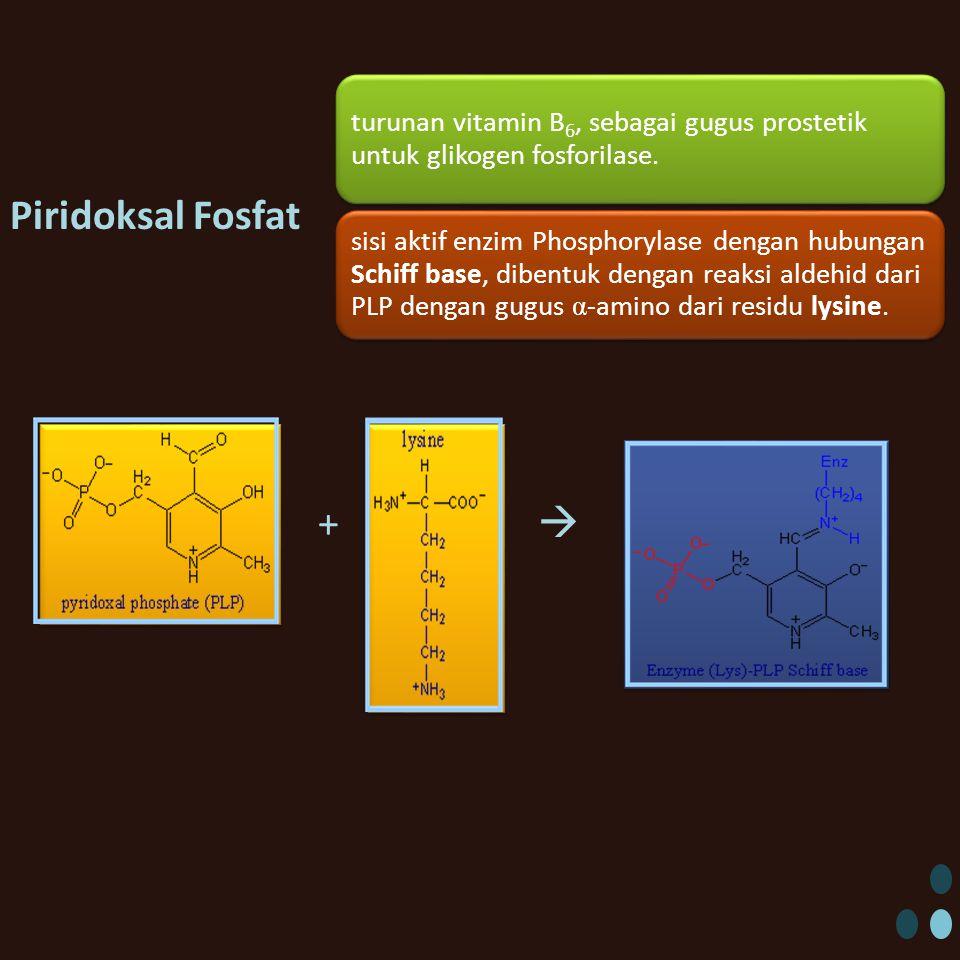 Piridoksal Fosfat +  turunan vitamin B6, sebagai gugus prostetik untuk glikogen fosforilase. sisi aktif enzim Phosphorylase dengan hubungan Schiff ba