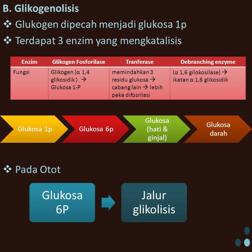 B. Glikogenolisis  Glukogen dipecah menjadi glukosa 1p  Terdapat 3 enzim yang mengkatalisis  Pada Otot Glukosa 1pGlukosa 6p Glukosa (hati & ginjal)