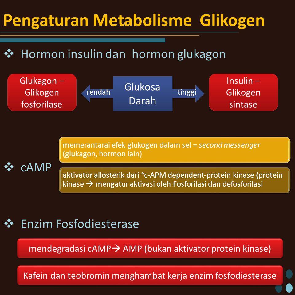 Pengaturan Metabolisme Glikogen  Hormon insulin dan hormon glukagon  cAMP  Enzim Fosfodiesterase Glukosa Darah tinggirendah Insulin – Glikogen sintase Glukagon – Glikogen fosforilase memerantarai efek glukogen dalam sel = second messenger (glukagon, hormon lain) aktivator allosterik dari c-APM dependent-protein kinase (protein kinase  mengatur aktivasi oleh Fosforilasi dan defosforilasi mendegradasi cAMP  AMP (bukan aktivator protein kinase) Kafein dan teobromin menghambat kerja enzim fosfodiesterase
