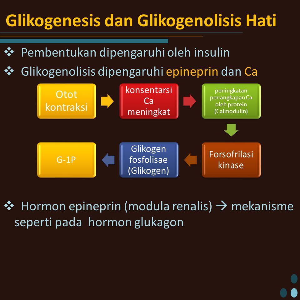Glikogenesis dan Glikogenolisis Hati  Pembentukan dipengaruhi oleh insulin  Glikogenolisis dipengaruhi epineprin dan Ca  Hormon epineprin (modula renalis)  mekanisme seperti pada hormon glukagon Otot kontraksi konsentarsi Ca meningkat peningkatan penangkapan Ca oleh protein (Calmodulin) Forsofrilasi kinase Glikogen fosfolisae (Glikogen) G-1P