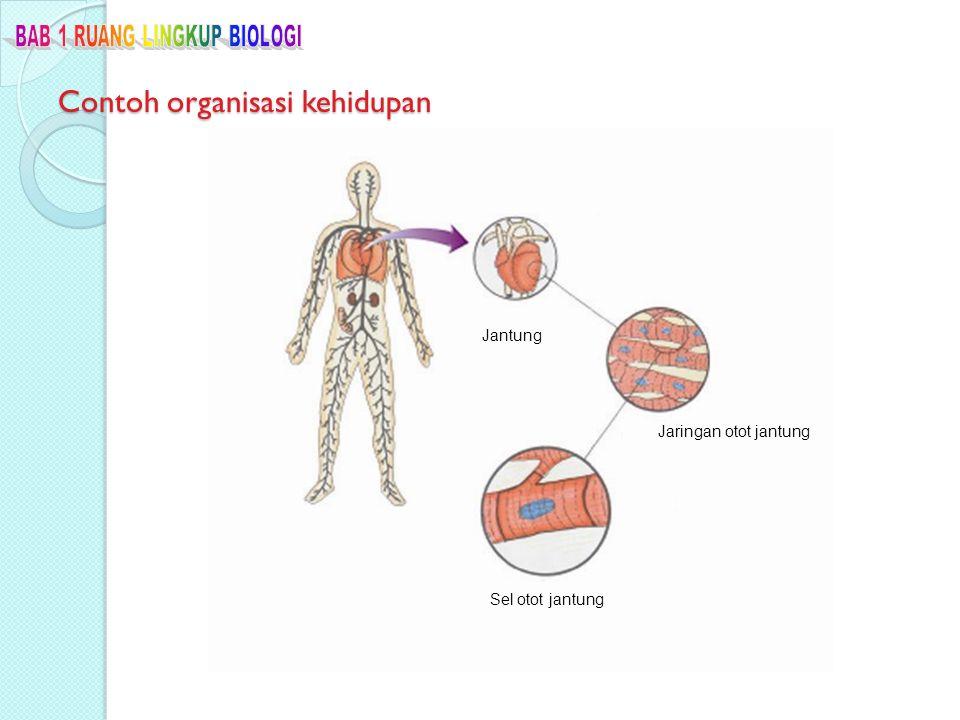 Contoh organisasi kehidupan Jantung Jaringan otot jantung Sel otot jantung