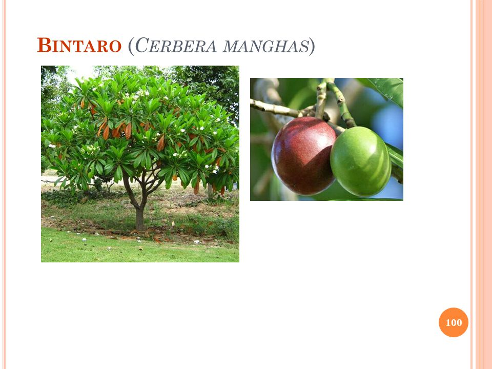 B INTARO ( C ERBERA MANGHAS ) 100