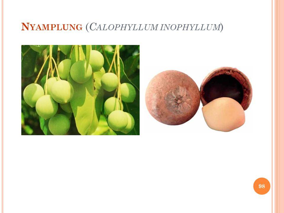N YAMPLUNG ( C ALOPHYLLUM INOPHYLLUM ) 98