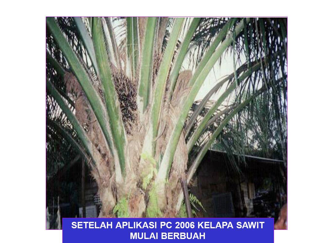 SETELAH APLIKASI PC 2006 KELAPA SAWIT MULAI BERBUAH