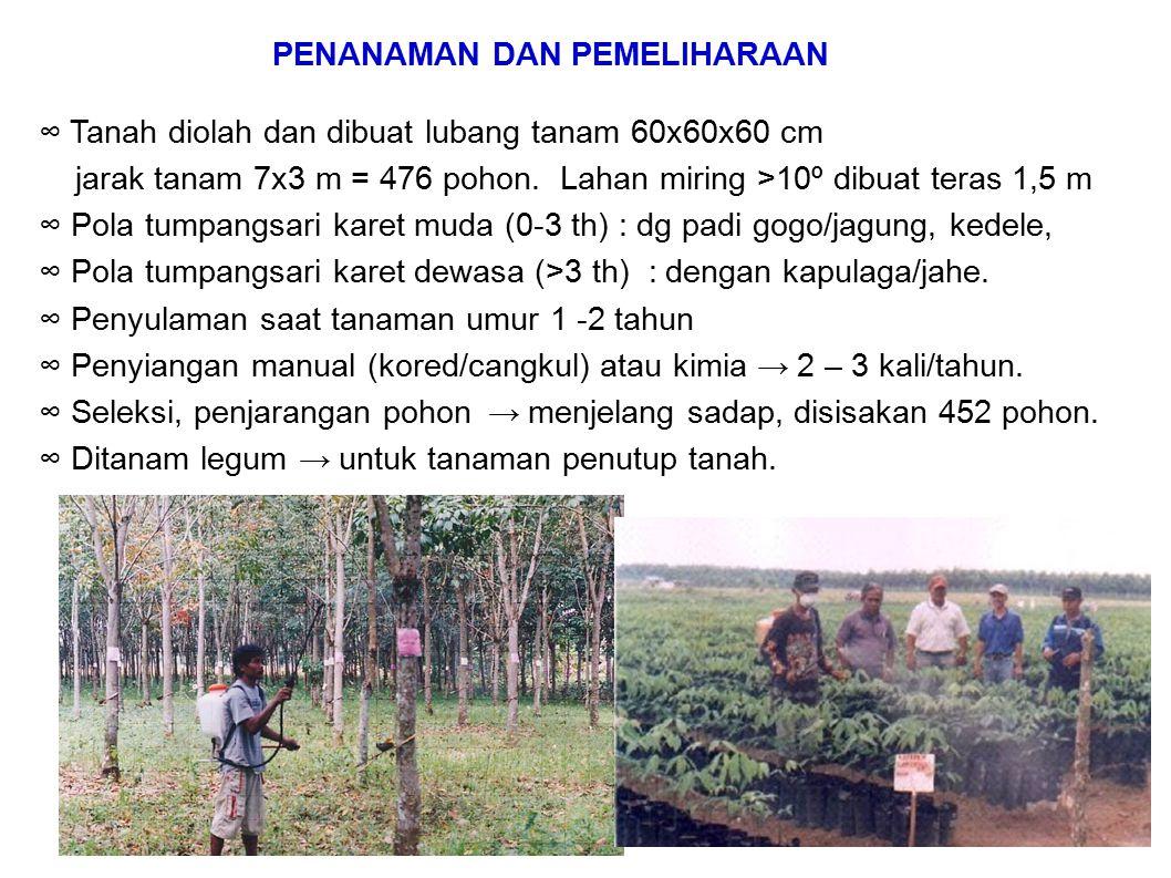 ∞ Tanah diolah dan dibuat lubang tanam 60x60x60 cm jarak tanam 7x3 m = 476 pohon. Lahan miring >10º dibuat teras 1,5 m ∞ Pola tumpangsari karet muda (