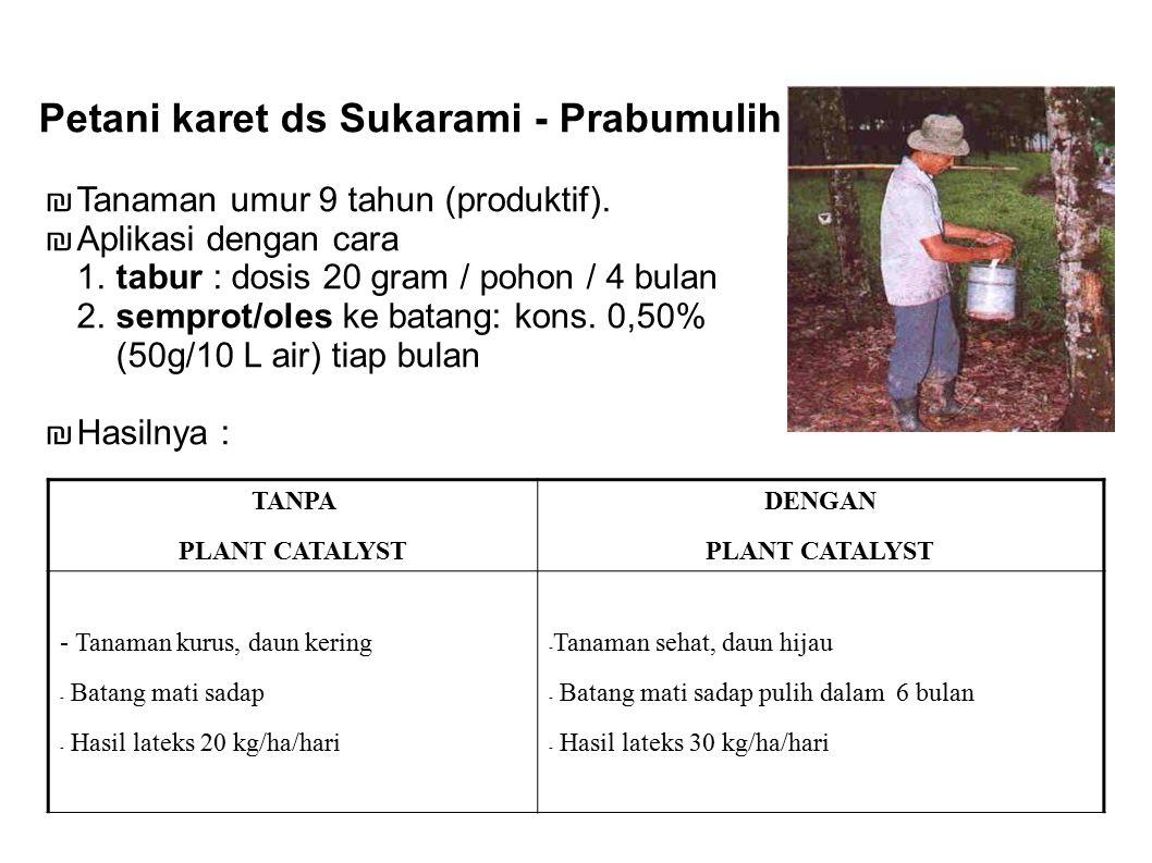 POTRET KEBERHASILAN Petani karet ds Sukarami - Prabumulih ₪ Tanaman umur 9 tahun (produktif). ₪ Aplikasi dengan cara 1. tabur : dosis 20 gram / pohon