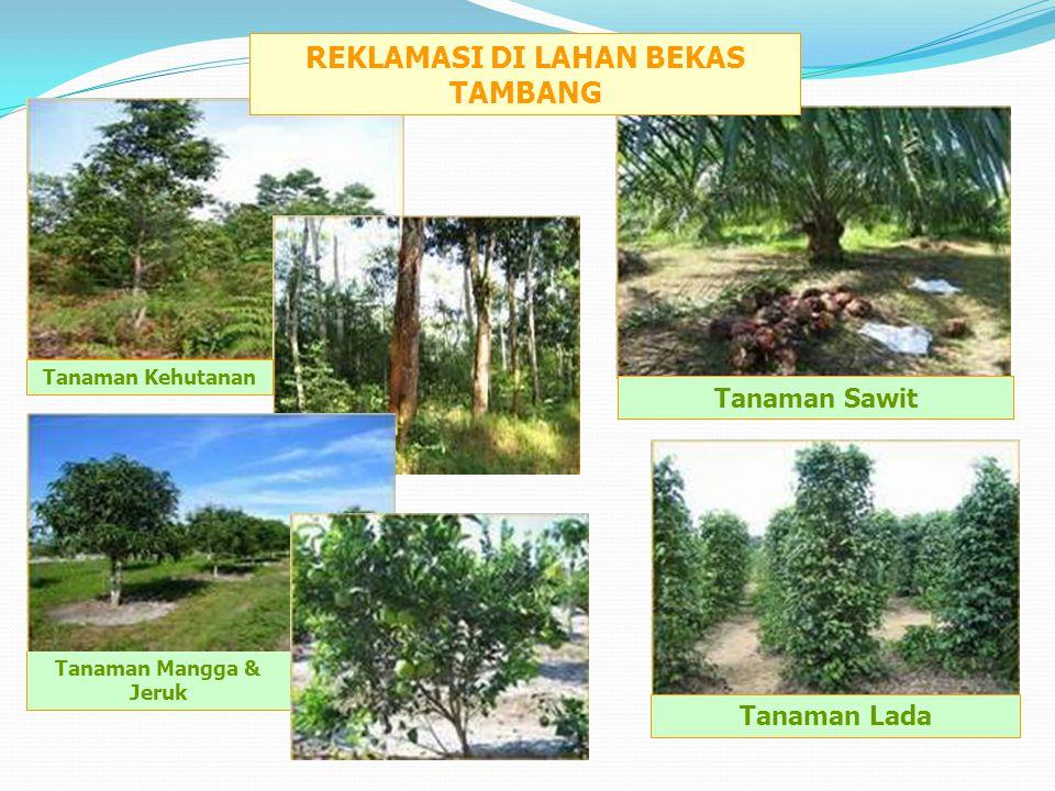 Tanaman Lada Tanaman Sawit Tanaman Kehutanan Tanaman Mangga & Jeruk REKLAMASI DI LAHAN BEKAS TAMBANG