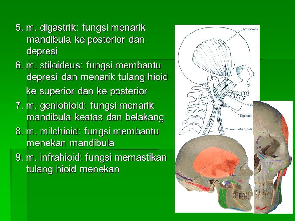 5. m. digastrik: fungsi menarik mandibula ke posterior dan depresi 6. m. stiloideus: fungsi membantu depresi dan menarik tulang hioid ke superior dan