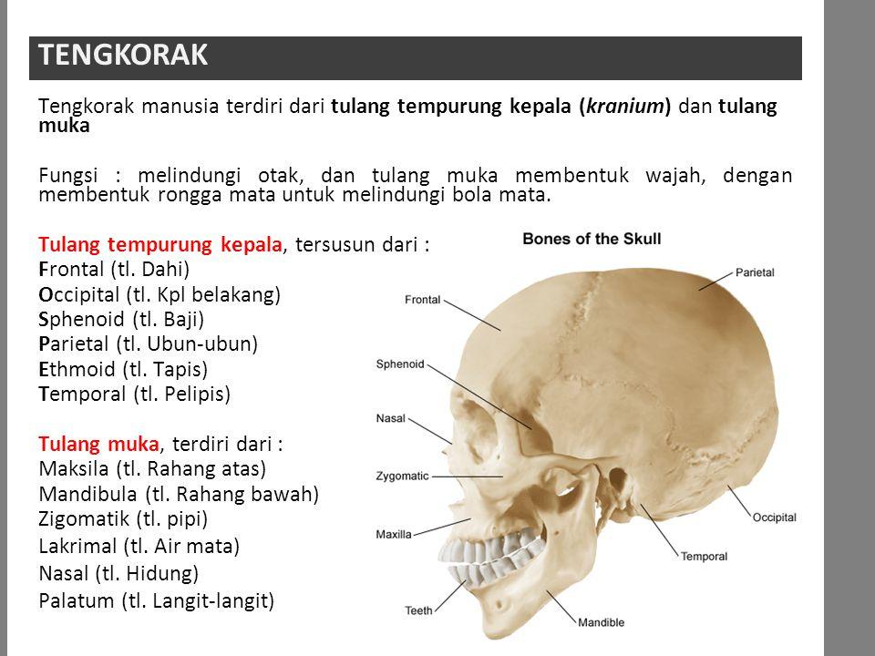 TENGKORAKTENGKORAK Tengkorak manusia terdiri dari tulang tempurung kepala (kranium) dan tulang muka Fungsi : melindungi otak, dan tulang muka membentuk wajah, dengan membentuk rongga mata untuk melindungi bola mata.