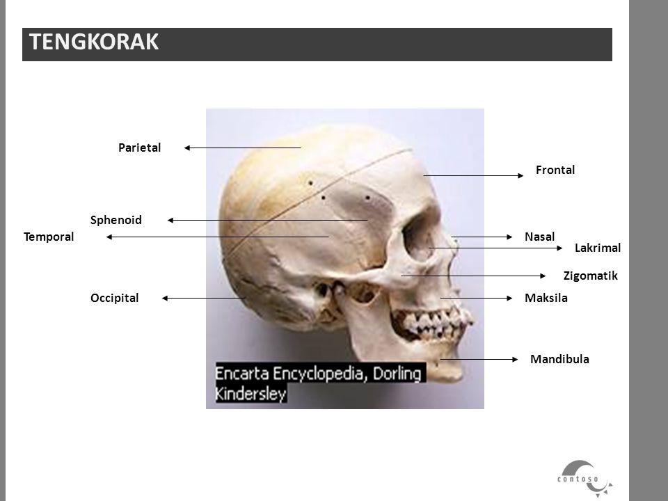 Parietal Sphenoid Temporal Occipital Frontal Zigomatik Maksila Mandibula Lakrimal Nasal TENGKORAK