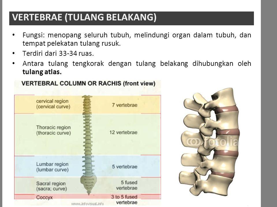 Fungsi: menopang seluruh tubuh, melindungi organ dalam tubuh, dan tempat pelekatan tulang rusuk.