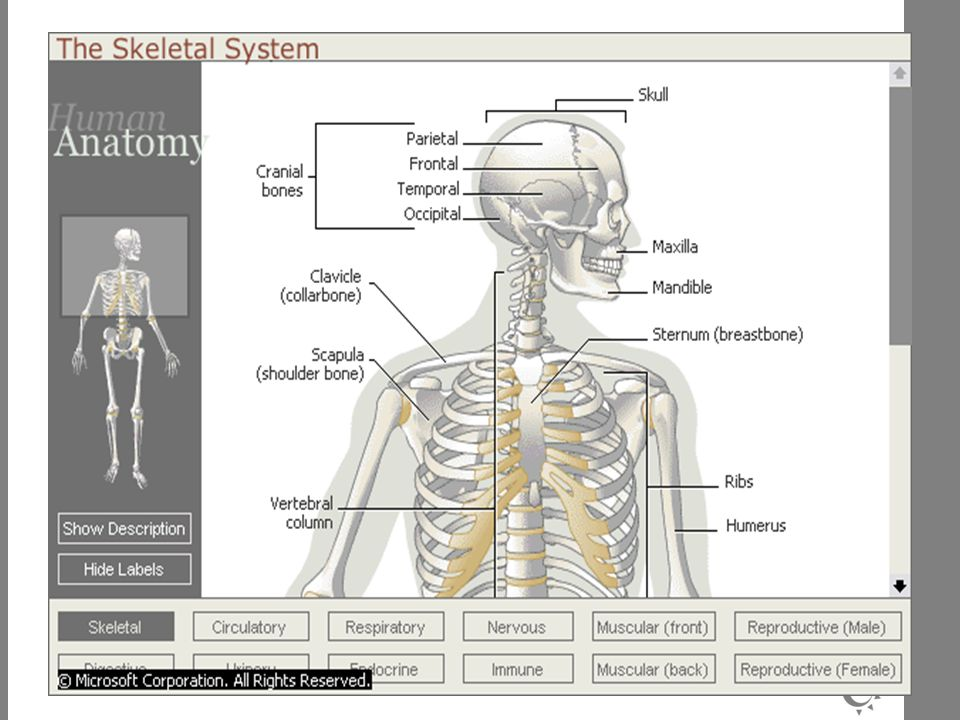 T ULANG PELVIS DAN GELANG PECTORAL Tersusun dari : tl duduk (ischium), tl usus (illium), tl kemaluan (pubis) dan asetabulum.