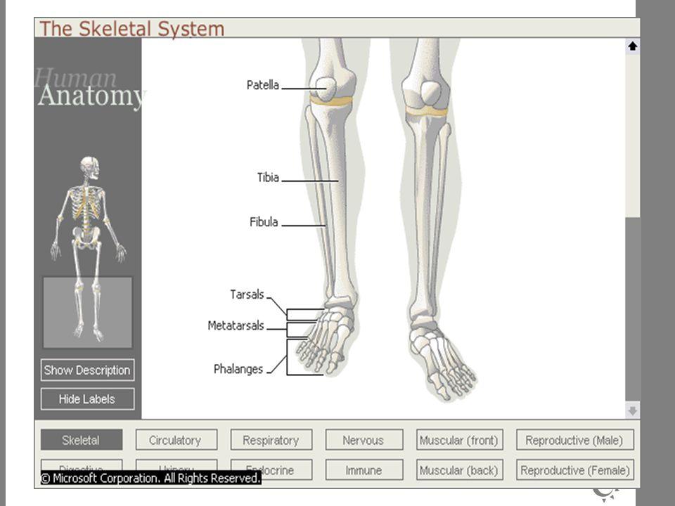 Gerak karena persendian : Fleksi (membengkok) >< Ekstensi (melurus) Adduksi (mendekati poros tubuh) >< Abduksi (menjauhi poros tubuh) Elevasi (mengangkat) >< Depresi (menurun) Supinasi (menengadahkan tangan) >< Pronasi (menelungkupkan tangan) Inversi (membuka telapak kaki kea rah dalam tubuh) >< Eversi (membuka telapak kaki ke arah luar tubuh) Komponen sendi : Ligamen Kapsul sendi Cairan sinovial Tulang Rawan hialin