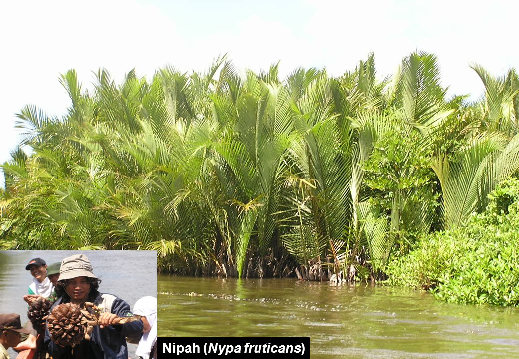 Nipah (Nypa fruticans)