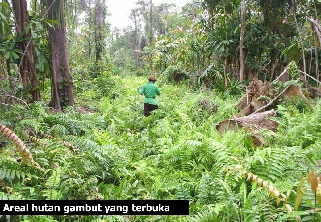 Areal hutan gambut yang terbuka