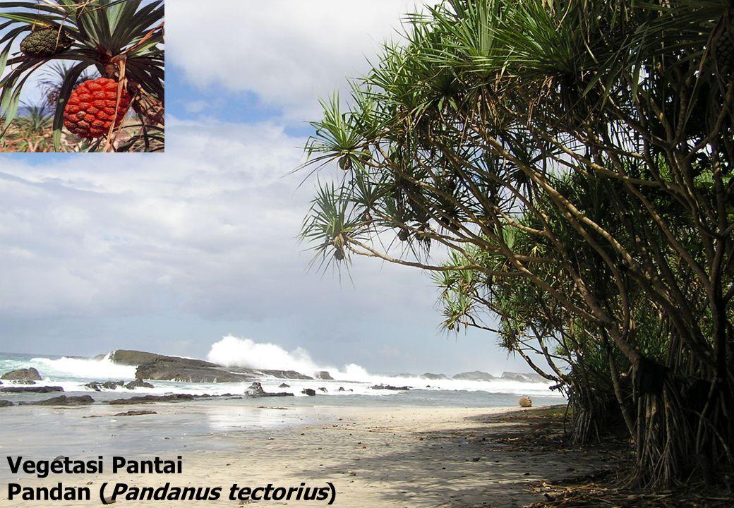 Vegetasi Pantai Pandan (Pandanus tectorius)
