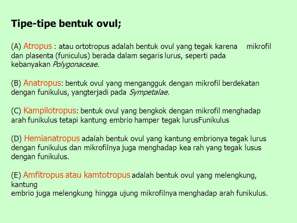 Tipe-tipe bentuk ovul; (A) Atropus : atau ortotropus adalah bentuk ovul yang tegak karena mikrofil dan plasenta (funiculus) berada dalam segaris lurus