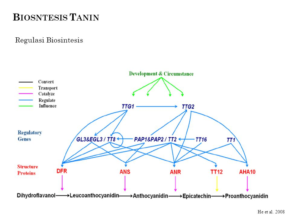 B IOSNTESIS T ANIN Regulasi Biosintesis Takos. 2006