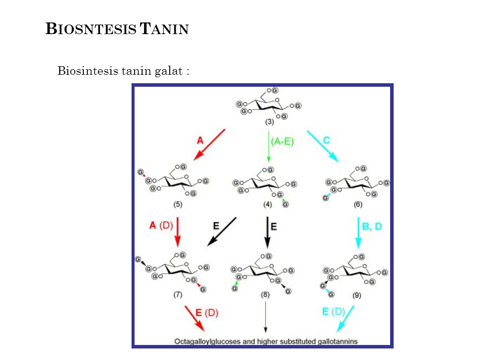 B IOSNTESIS T ANIN Biosintesis tanin galat :