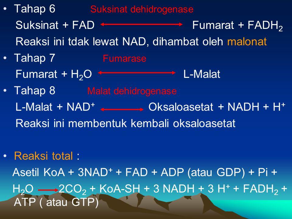 Tahap 6 Suksinat dehidrogenase Suksinat + FAD Fumarat + FADH 2 Reaksi ini tdak lewat NAD, dihambat oleh malonat Tahap 7 Fumarase Fumarat + H 2 O L-Mal
