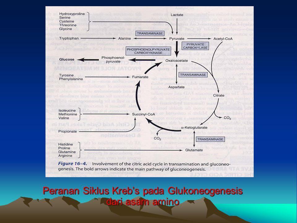 Peranan Siklus Kreb's pada Glukoneogenesis dari asam amino