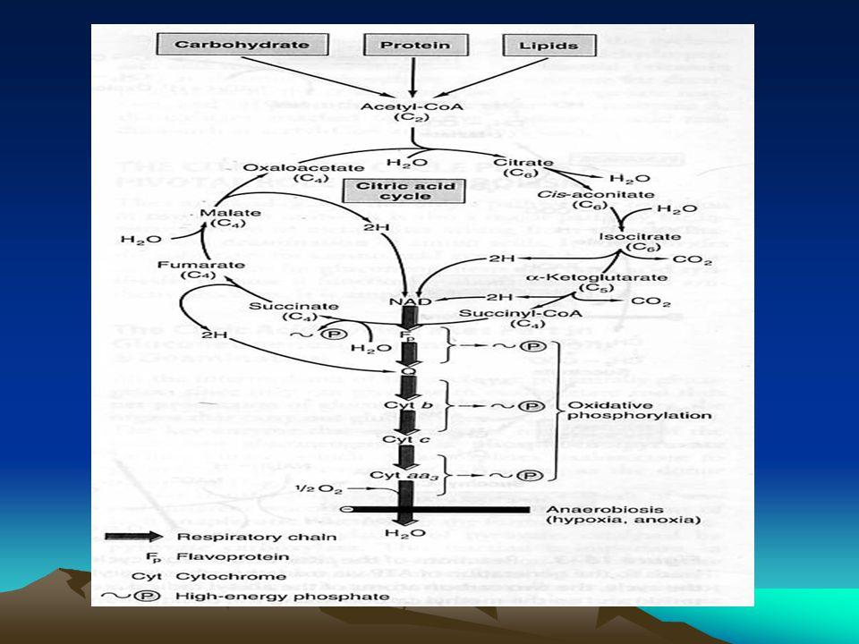 REGULASI TCA CYCLE : * Tergantung pasokan ( supply ) dan kebutuhan ( de- mand ) akan TCA cycle.