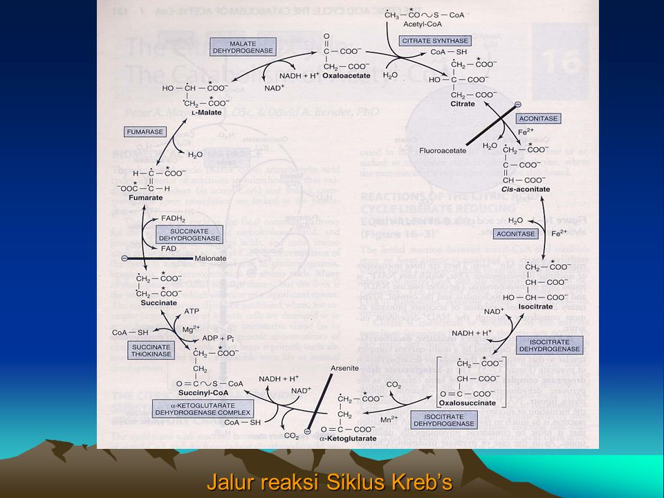 Jalur reaksi Siklus Kreb's