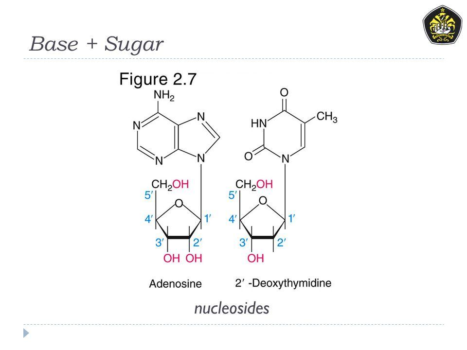 Base + Sugar nucleosides