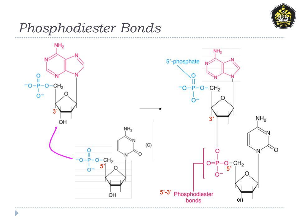 Phosphodiester Bonds 5' 3' 5' OH 5'-3'