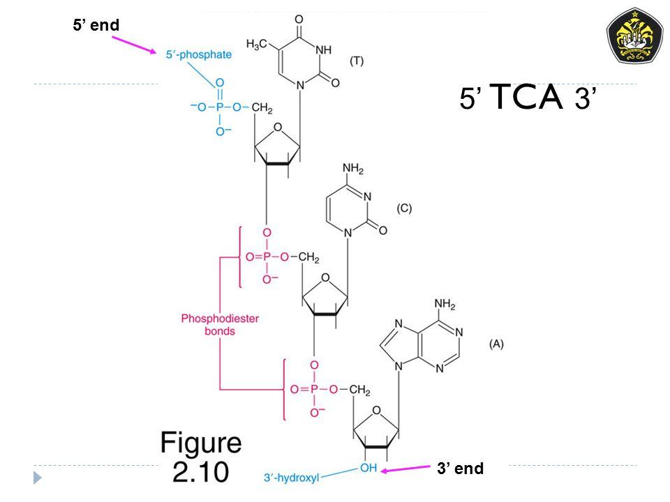 5' end 3' end 5' TCA 3'