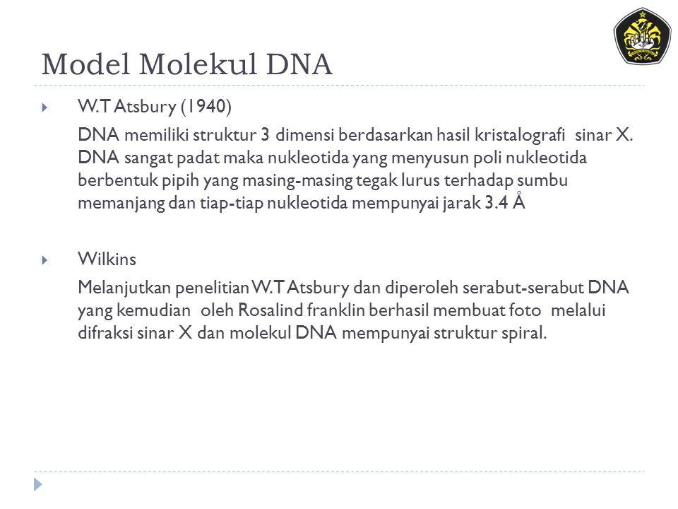 Model Molekul DNA  W.T Atsbury (1940) DNA memiliki struktur 3 dimensi berdasarkan hasil kristalografi sinar X. DNA sangat padat maka nukleotida yang
