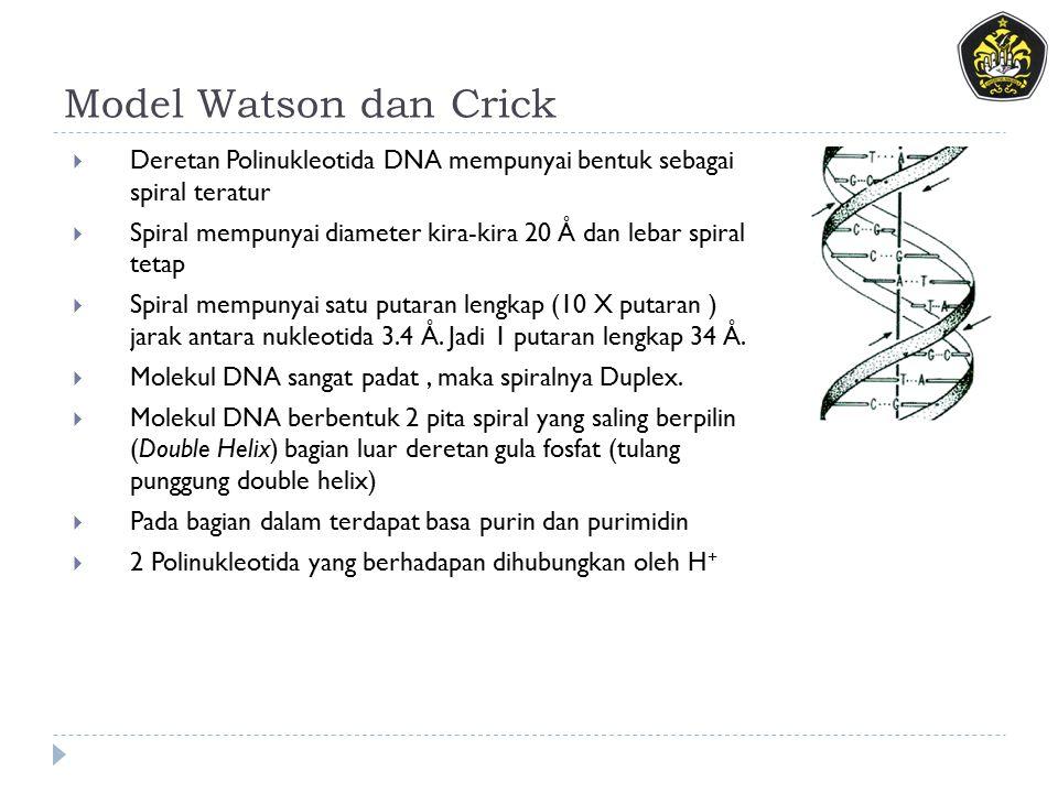 Model Watson dan Crick  Deretan Polinukleotida DNA mempunyai bentuk sebagai spiral teratur  Spiral mempunyai diameter kira-kira 20 Å dan lebar spiral tetap  Spiral mempunyai satu putaran lengkap (10 X putaran ) jarak antara nukleotida 3.4 Å.