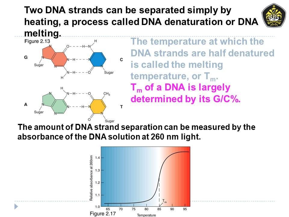 Two DNA strands can be separated simply by heating, a process called DNA denaturation or DNA melting. T m of a DNA is largely determined by its G/C%.