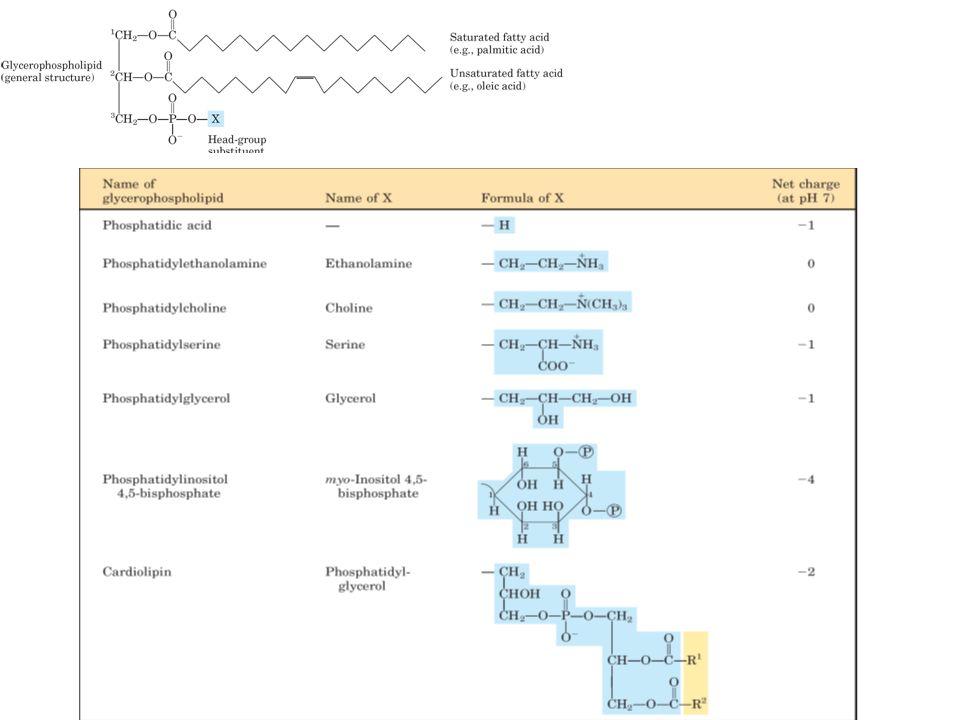 Lipid bilayer penyusun membran Merupakan fosfolipid Bagian dalam bersifat nonpolar Bagian luar bersifat polar