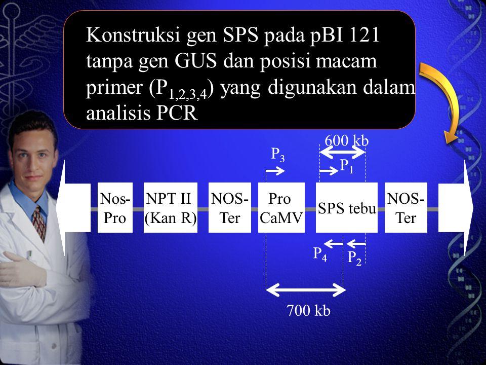 Konstruksi gen SPS pada pBI 121 tanpa gen GUS dan posisi macam primer (P 1,2,3,4 ) yang digunakan dalam analisis PCR Nos- Pro NPT II (Kan R) NOS- Ter Pro CaMV SPS tebu NOS- Ter 700 kb 600 kb P1P1 P2P2 P4P4 P3P3