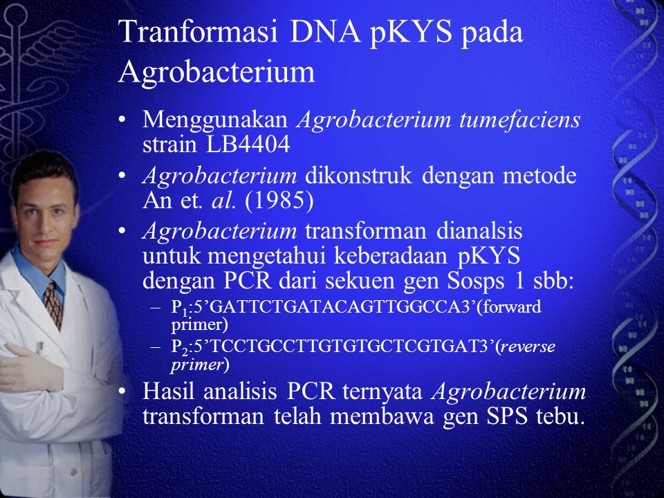 Tranformasi DNA pKYS pada Agrobacterium Menggunakan Agrobacterium tumefaciens strain LB4404 Agrobacterium dikonstruk dengan metode An et.